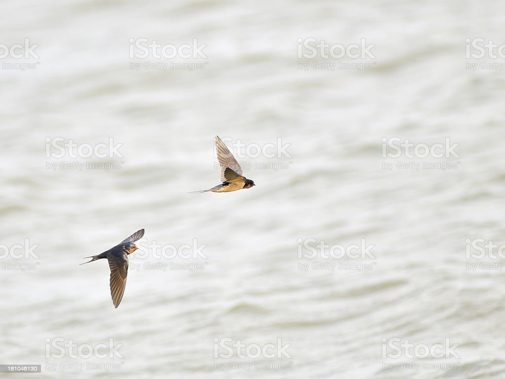 Barn Swallow, Hirundo rustica, Flyby royalty-free stock photo