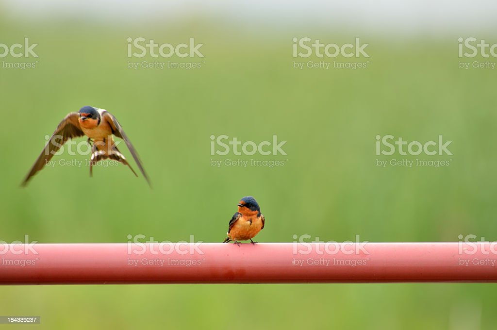 Barn Swallow, Hirundo rustica, Flying From Pipe royalty-free stock photo