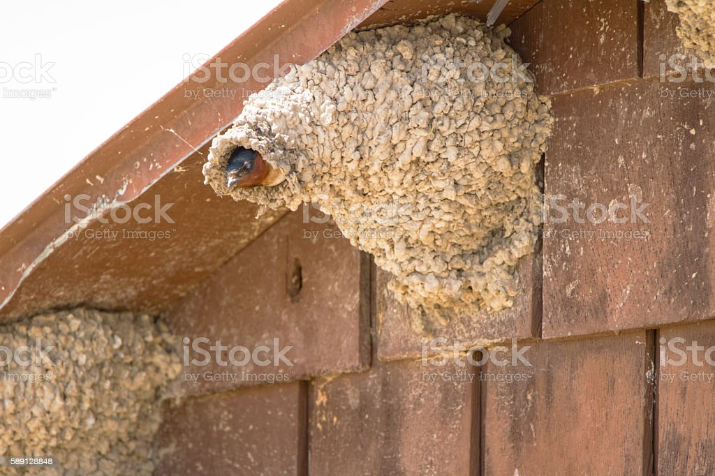 Barn Swallow Peaking Out stock photo