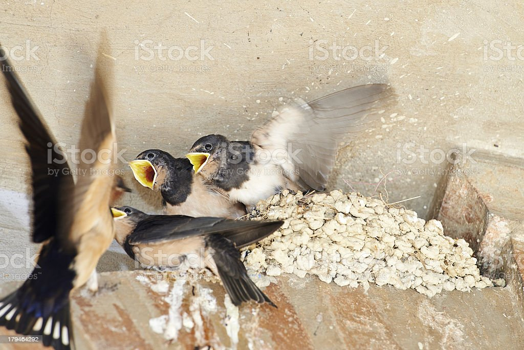Barn Swallow royalty-free stock photo