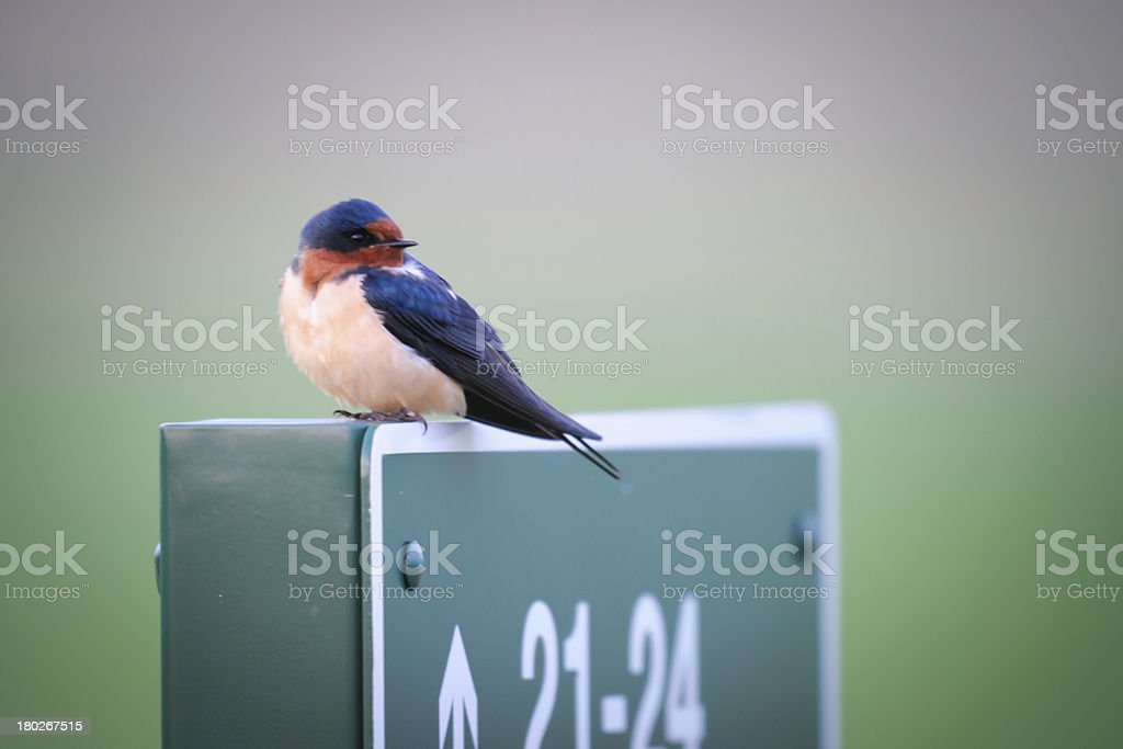 Barn Swallow (Hirundo rustica) royalty-free stock photo