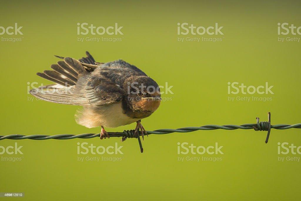 Barn Swallow stock photo