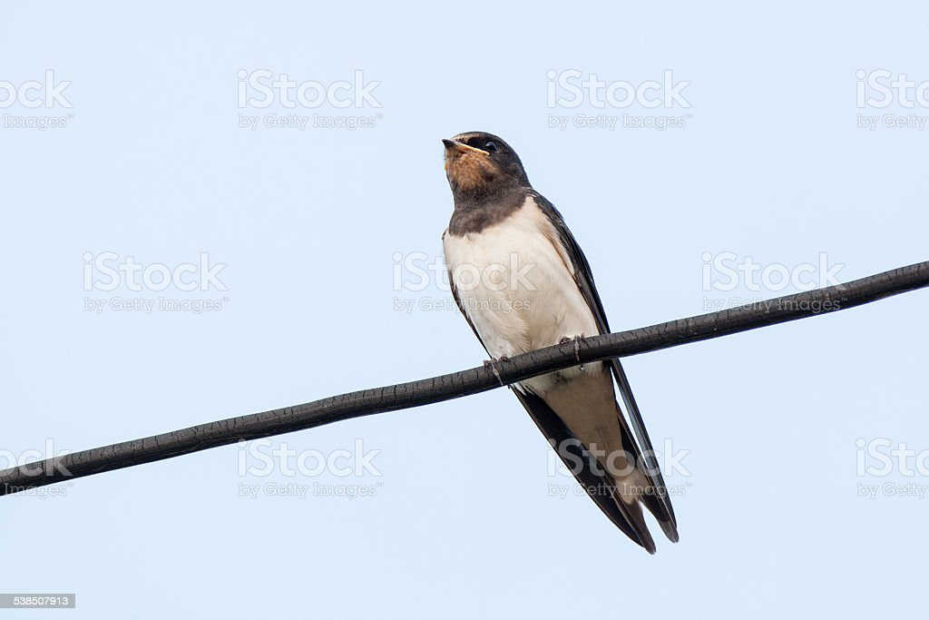Barn Swallow (Hirundo rustica) stock photo