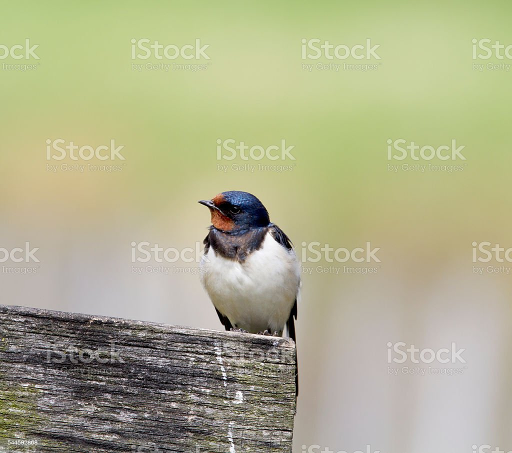 Barn Swallow (Hirundo rustica) stock photo