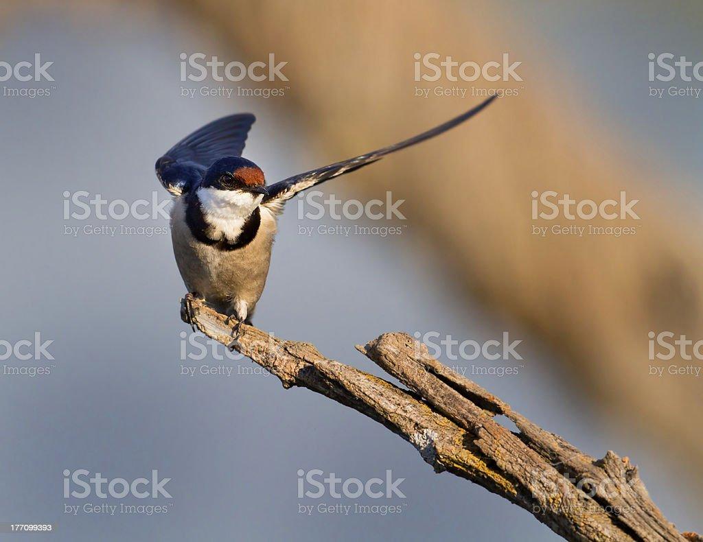 Jaskółka dymówka wings w zbiór zdjęć royalty-free