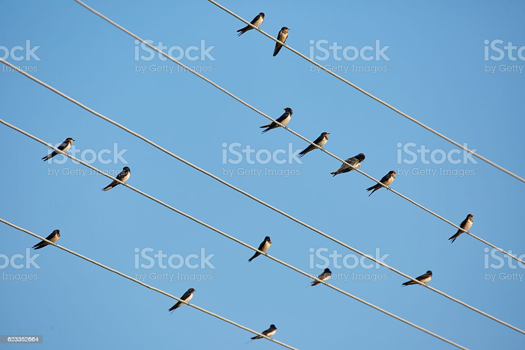 Barn swallows perched on telephone wires stock photo