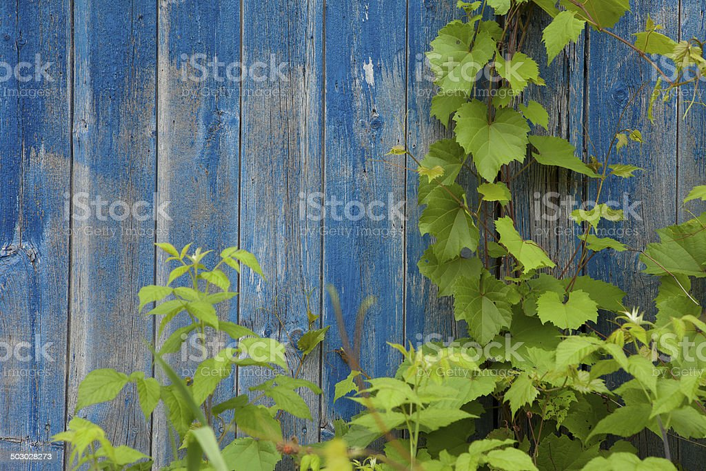barn wood and vine royalty-free stock photo