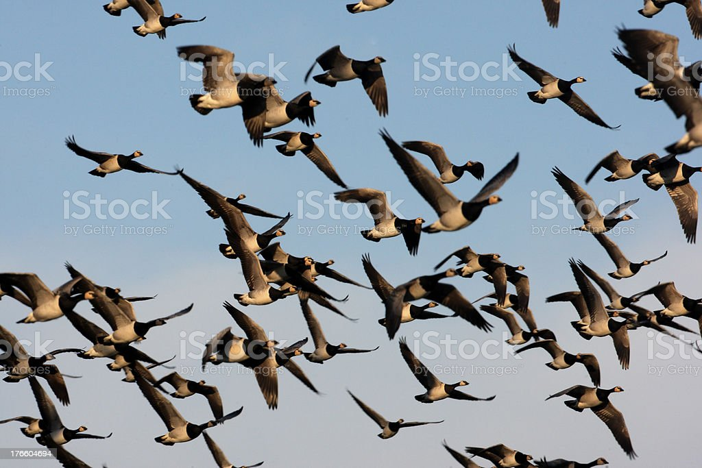 Barnacle goose, Branta leucopsis stock photo