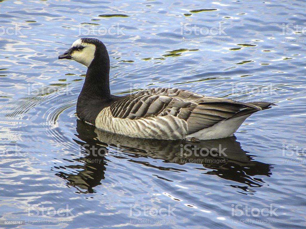 Barnacle Goose royalty-free stock photo