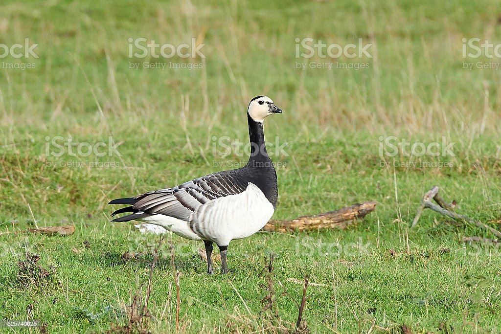 Barnacle goose (Branta leucopsis) stock photo