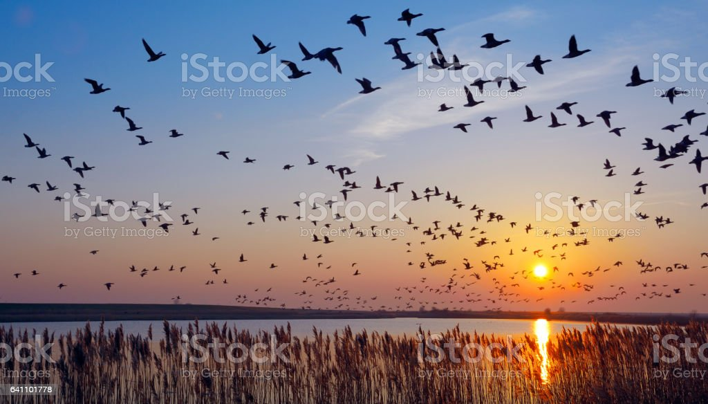 Barnacle Goose stock photo