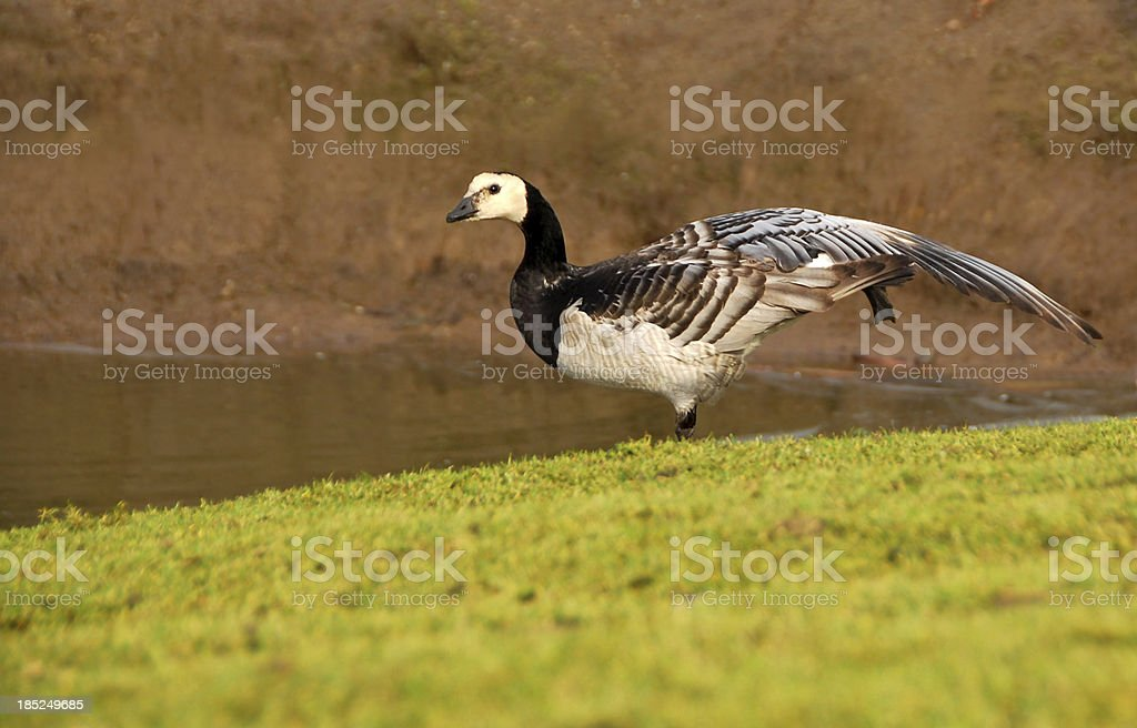 Barnacle Goose standing On One Leg royalty-free stock photo