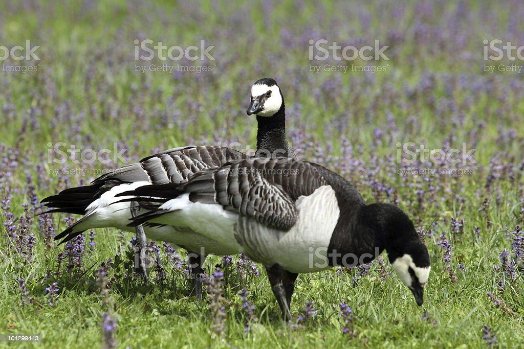 barnacle goose,branta leucopsis royalty-free stock photo