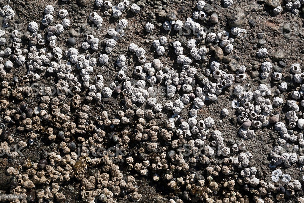 Barnacles at low tide, Canada stock photo