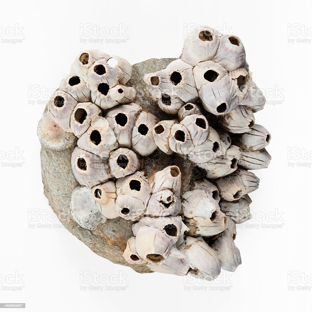 barnacles on a stone stock photo
