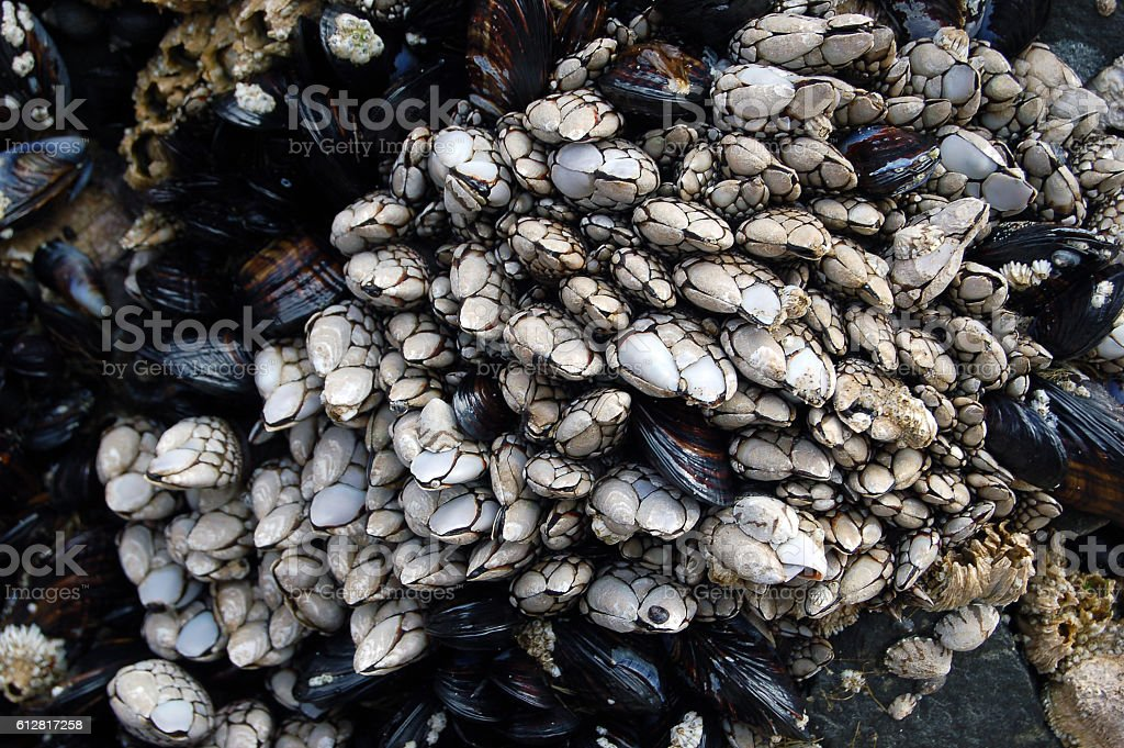 Barnacles on Beach Cliff stock photo