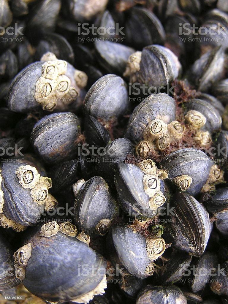 Barnacles on Mussels stock photo