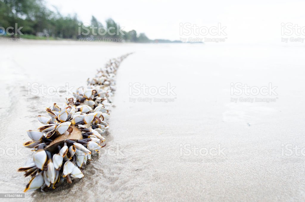 barnacles stock photo