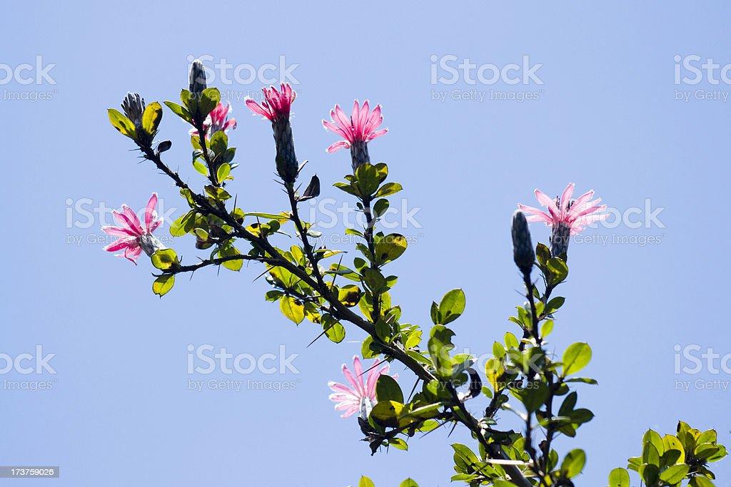 Barnadesia Arborea stock photo