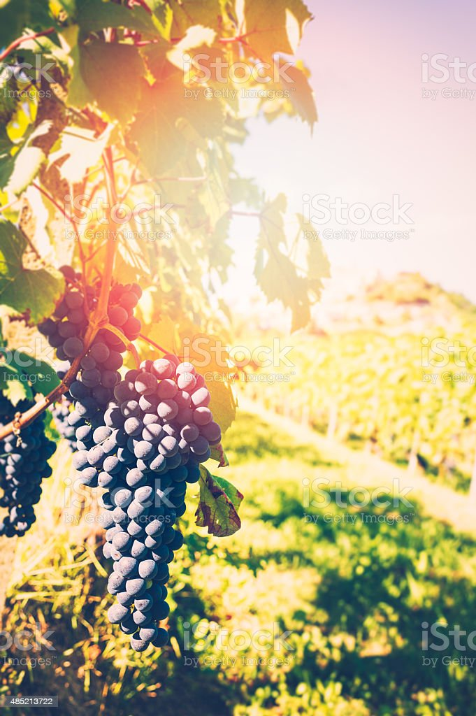 Barolo grape stock photo