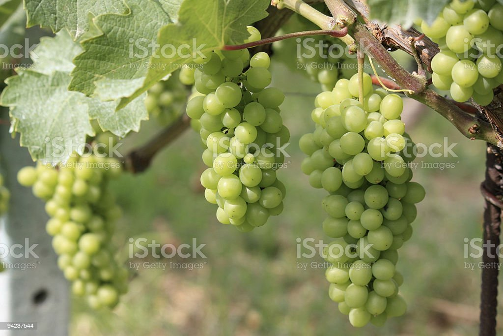 Barolo grapes stock photo