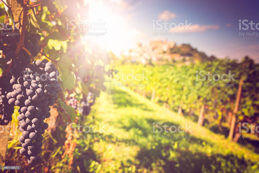 Barolo vineyards stock photo