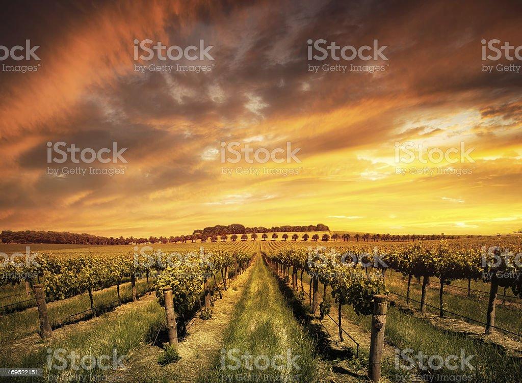 Barossa Valley vineyard at dawn in Australia stock photo