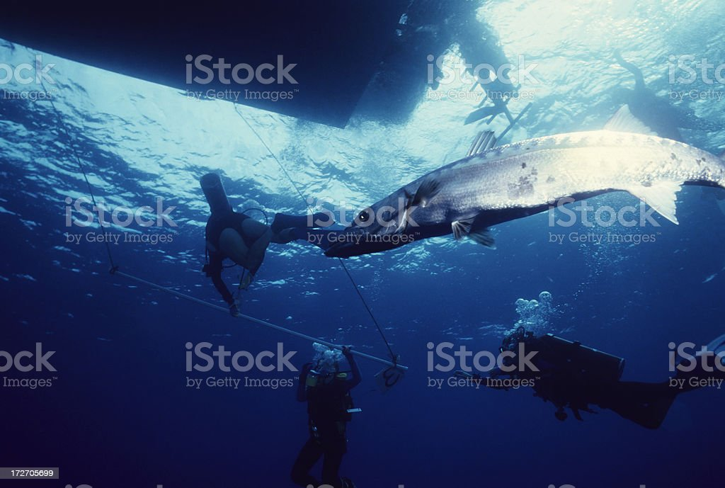 Barracuda Calling royalty-free stock photo