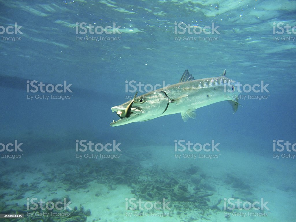 Barracuda catch stock photo