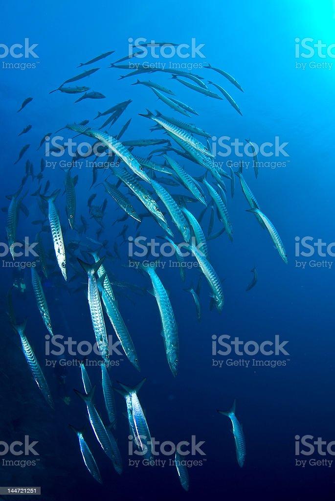 Barracuda fish school royalty-free stock photo