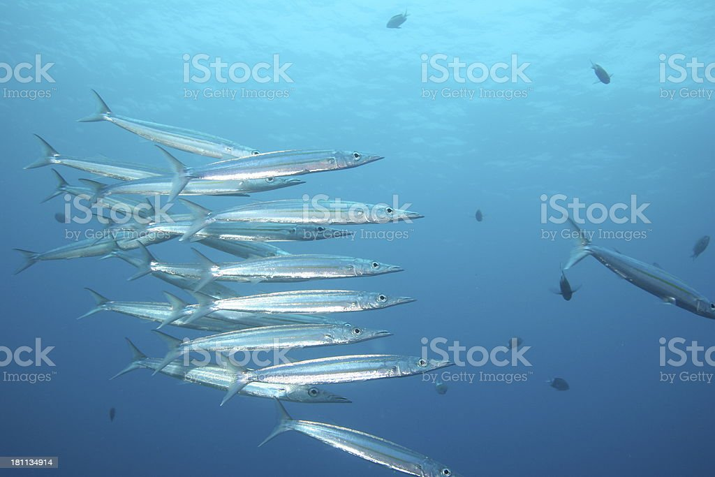 Barracuda Hagin Out royalty-free stock photo