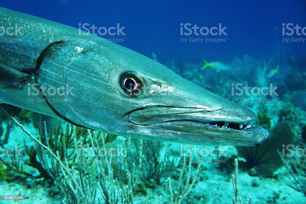 Barracuda head close to photographer stock photo