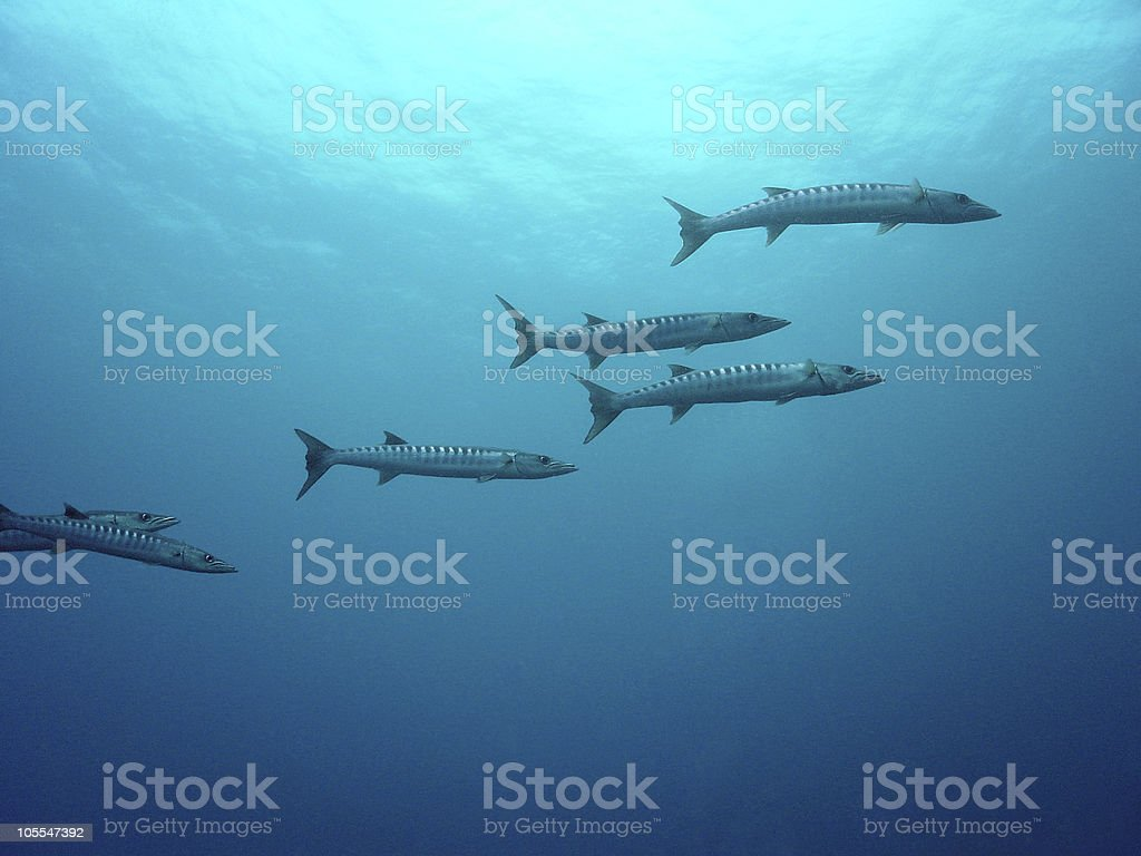 Barracuda In The Blue royalty-free stock photo