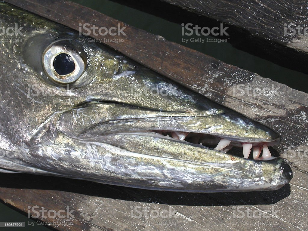 barracuda royalty-free stock photo
