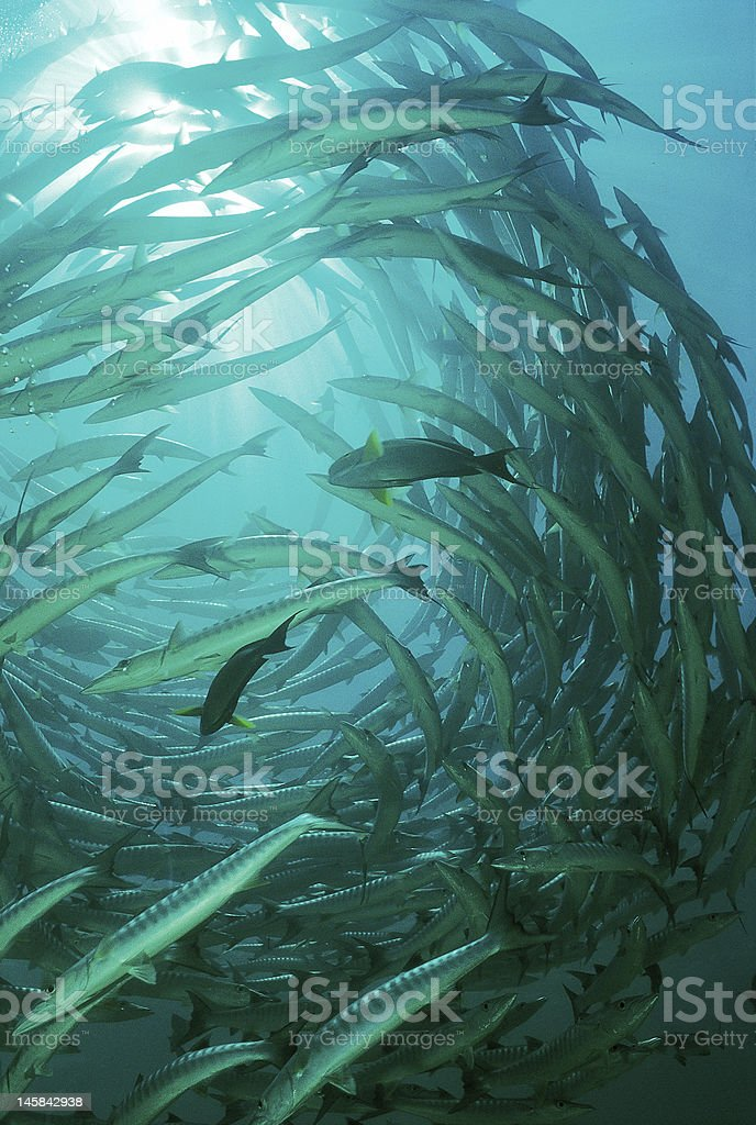 Barracuda stock photo