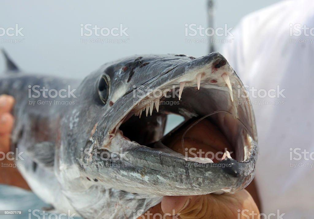 Barracuda royalty-free stock photo