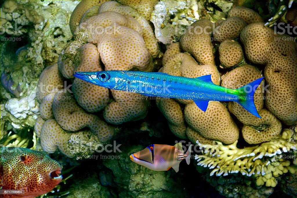 Barracuda, Puffer fish and Rhinecanthus assasi stock photo