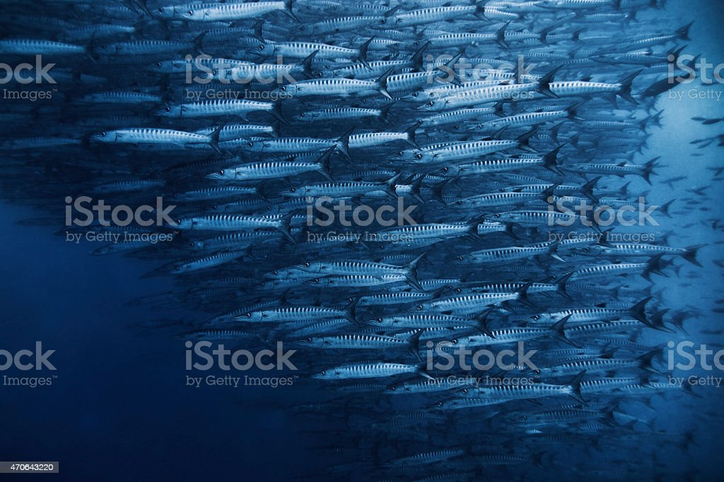 Barracuda School stock photo