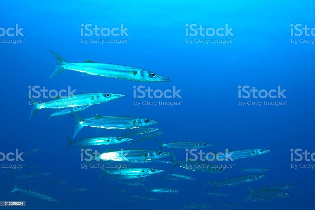 Barracudas - Palau, Micronesia stock photo