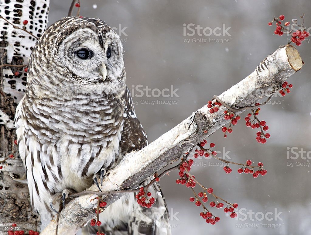 Barred Owl and Red Berries stock photo