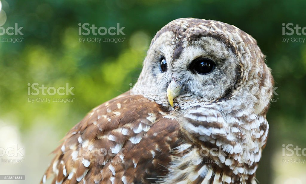 Barred Owl close up stock photo