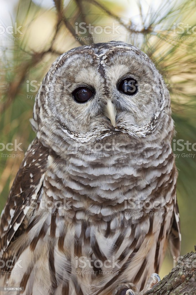 Barred Owl Close-up stock photo