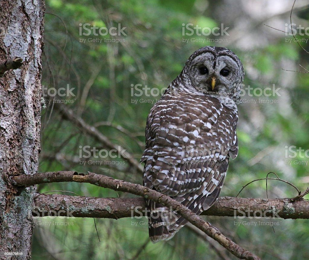 Barred Owl Eye Contact stock photo