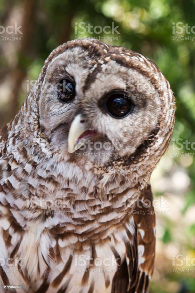 Barred Owl face stock photo