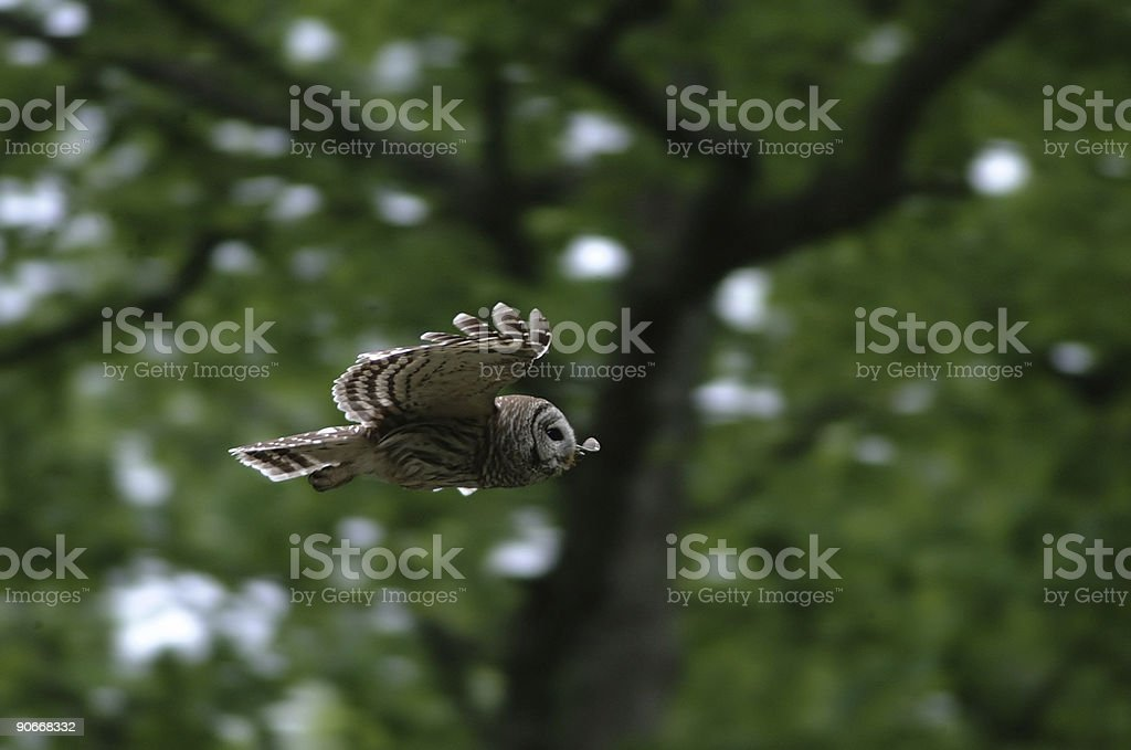 Barred owl gliding stock photo