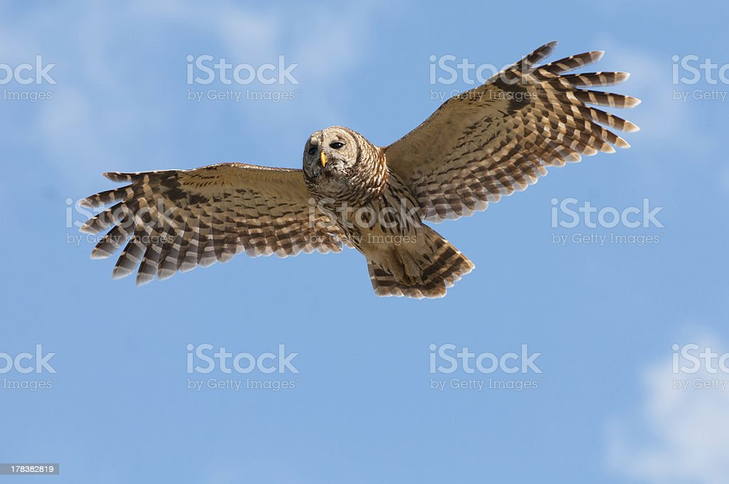 Barred Owl in flight stock photo