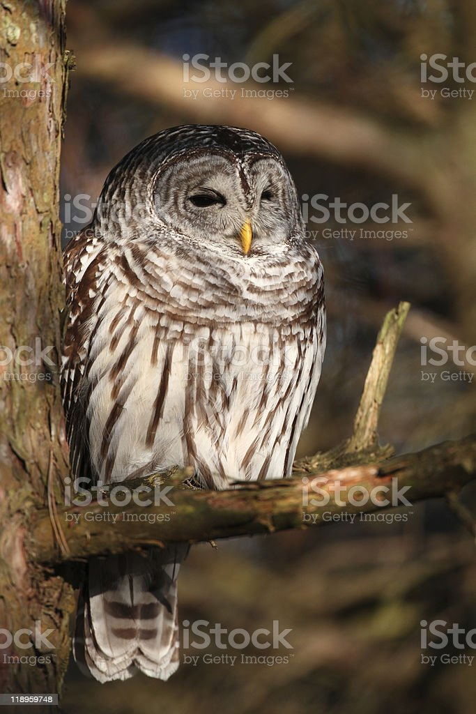 Barred Owl in Tree looking for prey stock photo