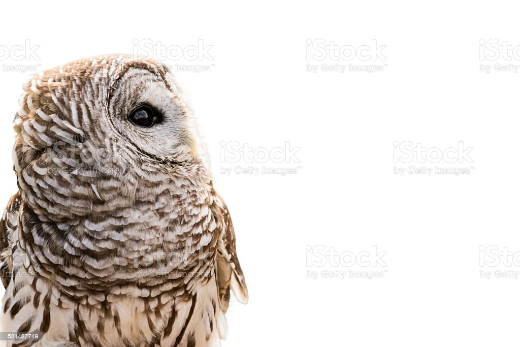 Barred Owl Isolated stock photo