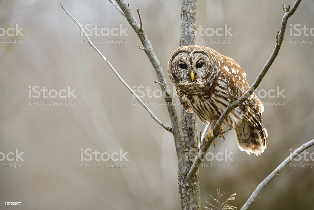 Barred owl leaning forward stock photo