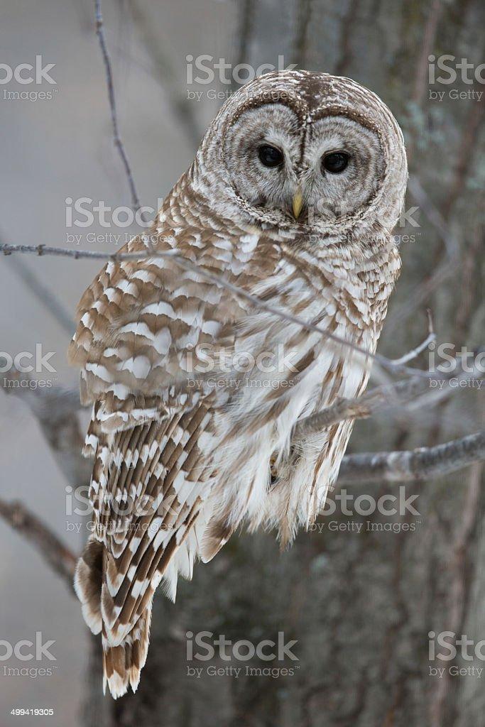 Barred Owl - Looking at Camera stock photo